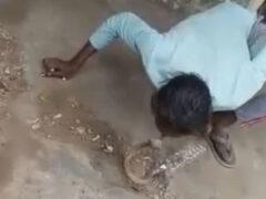 Змеелов-любитель неудачно поцеловался с коброй