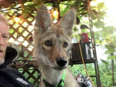 Хозяин борется за право оставить у себя терапевтического койота