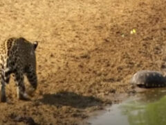 Черепаха не захотела стать обедом для ягуара