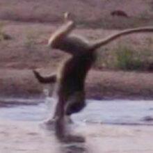 Неловкий бабуин опозорился при переходе реки