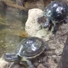 Черепаха поневоле совершила эффектный кувырок