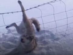 Случайные очевидцы оказали помощь застрявшему воющему волку
