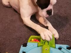 Собака научилась играть с голодными бегемотами