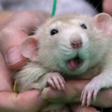 Как задобрить Белую Крысу: советы по встрече Нового года