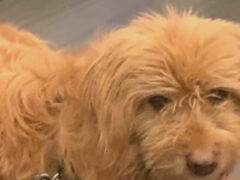 Собака, сбежавшая от хозяев, гуляла два месяца и пресытилась свободой