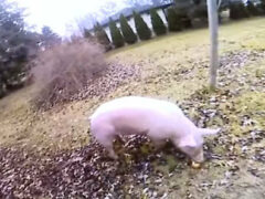 Свинья с большой неохотой сдалась в руки полиции
