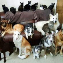 Хозяйка сумела рассадить своих многочисленных домашних питомцев для группового фото
