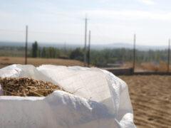 В Кыргызстане начали выращивать новый сорт риса