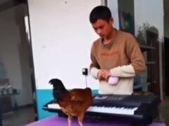 Талантливый петух научился играть на фортепиано