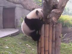 Втащив закуску на дерево, панда тут же её выронила