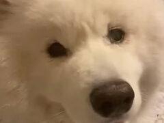 Хозяйка, пришедшая забирать пса после стрижки, не сразу его узнала