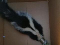 Защитникам животных пришлось освобождать скунса от застрявшей на голове банки