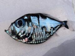 Странная рыба выглядит так, будто сошла с картины Пикассо