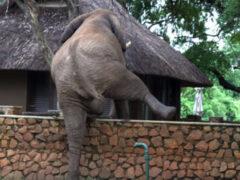 Чтобы добыть манго, слон занялся альпинизмом