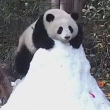 Вместо покорения снежной вершины панда научилась кататься с горки
