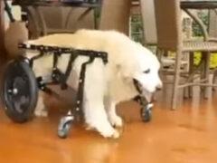 Собака, передвигающаяся с помощью инвалидной коляски, не разучилась плавать