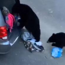 Медведи обокрали незапертый автомобиль
