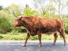 Приняв стимулятор, предназначенный для быков, горе-любовник слишком перевозбудился