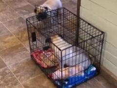 Мопс регулярно запирает родную сестру в клетке