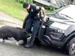 Свинья продемонстрировала непочтительное отношение к полиции