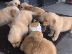 Отряд игривых щенков не даёт кошке спокойно жить