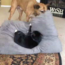 Псу надоело, что его любимая лежанка всё время оказывается занята