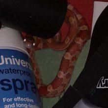 Поиск туфель в шкафу закончился обнаружением змеи