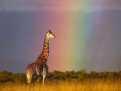 Фотосъёмка жирафа на фоне радуги получилась удивительной