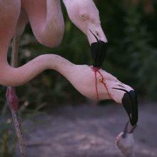 Кормление маленького фламинго кровью оказалось совсем не ужасным