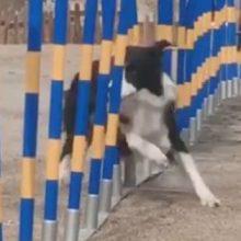 Собака поражает своей скоростью и ловкостью