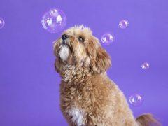Чтобы снимки с собаками получались интересными, фотографы используют мыльные пузыри