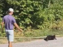 Бобр, позарившийся на слишком большую ветку, получил помощь от гольфиста