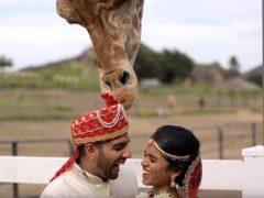 Жирафу очень понравился тюрбан жениха