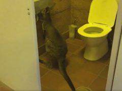 Кенгуру застукали за кражей туалетной бумаги
