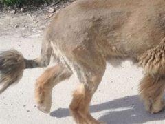 Лев, бродящий по улицам и напугавший горожан, оказался крупной собакой