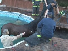 Отправившись бродить по двору, лошадь провалилась в бассейн