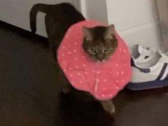 Медицинский воротник превратил кошку в элегантную подиумную модель