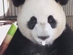 Бережливая панда не разбрасывается едой