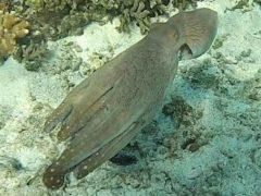 Чтобы скрыться от морского биолога, осьминог «превратился» в часть кораллового рифа