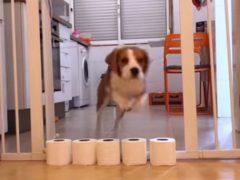 Хозяева выяснили, через сколько рулонов туалетной бумаги может перепрыгнуть собака