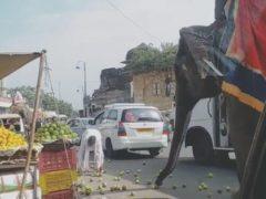 Раскатившиеся фрукты доставили слону большую радость