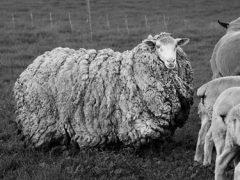 Овца, сбежавшая 7 лет назад, вернулась домой сильно обросшей