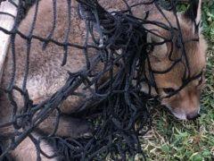 Неосторожный лисёнок запутался в сетке футбольных ворот