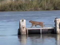 Рысь показала, как мастерски она умеет прыгать