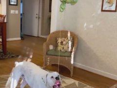 Хозяева удивили любимца необычной собачьей пиньятой