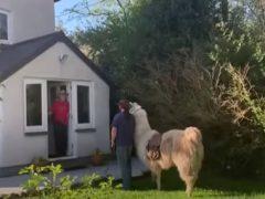 Лама помогает своему хозяину доставлять продукты