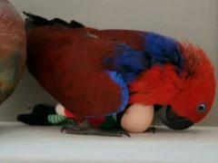 Попугай принял лысого эльфа за яйцо