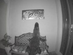 Черепаха, на которую охотился аллигатор, оказалась несъедобной
