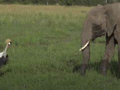 Пасущиеся слоны заставили журавля понервничать