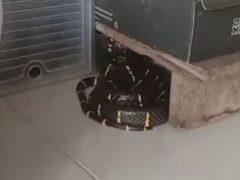Змея, проскользнувшая в дом, нашла укрытие среди обувных коробок